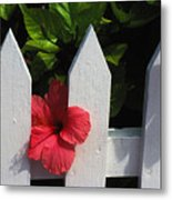Red Hibiscus And White Fence Metal Print
