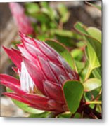 Red King Protea Bud Metal Print