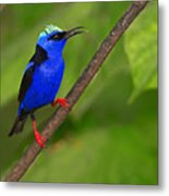 Red-legged Honeycreeper Metal Print