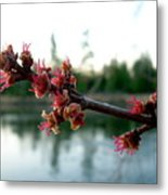 Red Maple Buds At Dawn Metal Print