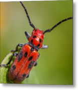 Red Milkweed Beetle Metal Print