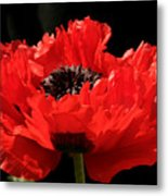Red Orange Oriental Poppy Metal Print