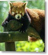 Red Panda Ailurus Fulgens Jerez De La Frontera Spain Metal Print