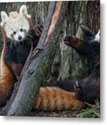 Red Panda Cubs At Play Metal Print