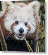 Red Panda Wonder Metal Print