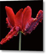 Red Parrot Tulip Metal Print
