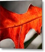 Red Pin Oak Leaf Metal Print