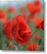 Red Poppies Blooming Metal Print