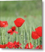 Red Poppy Flower And Green Wheat Nature Spring Scene Metal Print