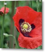 Red Poppy Getting All The Attention Metal Print