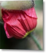 Red Poppy Sneaking Out Metal Print