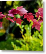 Red Red Maple Leaves Metal Print