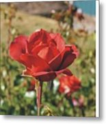 Red Rose 1 Metal Print