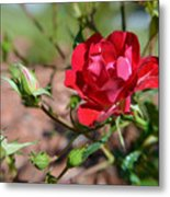 Red Rose And Buds Metal Print