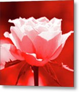 Red Rose Beauty Metal Print