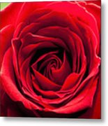 Red Rose Colour Isolated On A Green Background. Metal Print