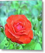 Red Rose On Natural Background With Green Leaves. Metal Print