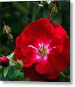 Red Rose With Buds Metal Print