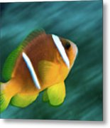 Red Sea Clownfish  Metal Print