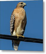 Red-shoulder Hawk Metal Print
