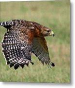 Red-shouldered Hawk Flight Metal Print