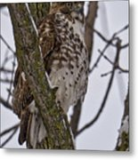 Red Shouldered Hawk - Madison - Wisconsin Metal Print