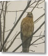 Red-shouldered Hawk Metal Print