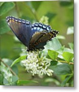 Red-spotted Purple Butterfly On Privet Flowers Metal Print