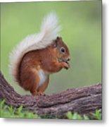 Red Squirrel Curved Log Metal Print