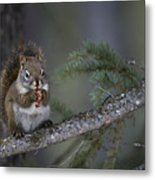 Red Squirrel Having Lunch Metal Print