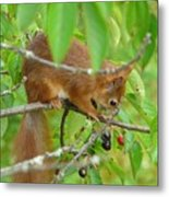 Red Squirrel In The Cherry Tree Metal Print