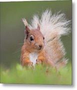 Red Squirrel In Vegetation Metal Print