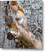 Red Squirrel Maine Metal Print