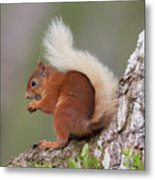 Red Squirrel On Tree Metal Print