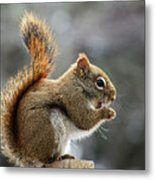 Red Squirrel On Wooden Fence II Metal Print