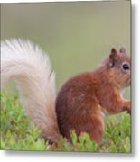 Red Squirrel Pauses Metal Print