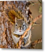 Red Squirrel Pictures 144 Metal Print