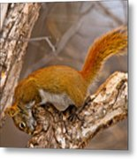 Red Squirrel Pictures 145 Metal Print