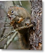Red Squirrel Pictures 161 Metal Print