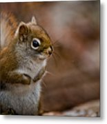 Red Squirrel Pictures 170 Metal Print