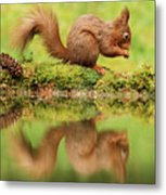 Red Squirrel Reflection Metal Print