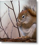 Red Squirrel - Sciurus Vulgaris Metal Print