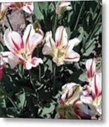 Red Stripe Tulips Metal Print