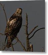 Red-tail Hawk 2 Metal Print