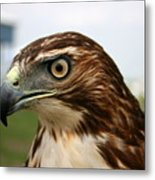 Red Tail Hawk 3 Metal Print