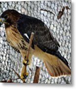 Red Tail Hawk Metal Print