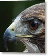 Red Tail Hawk Misted Metal Print