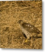 Red Tail Hawk Walking Metal Print