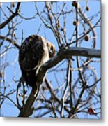 Red Tail IIi Metal Print