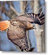 Red Tailed Hawk Flying Metal Print